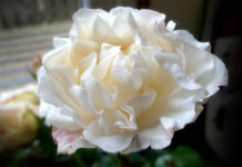 Rolls-Royce Rose